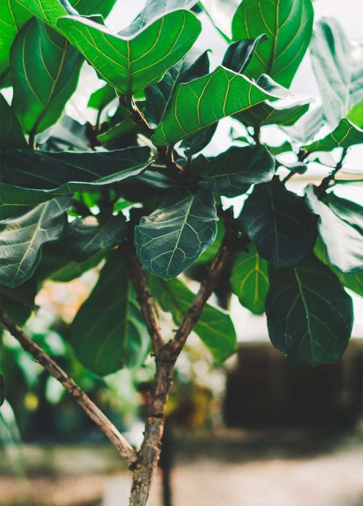 17 Reasons Your Fiddle Leaf Fig Is Not Growing
