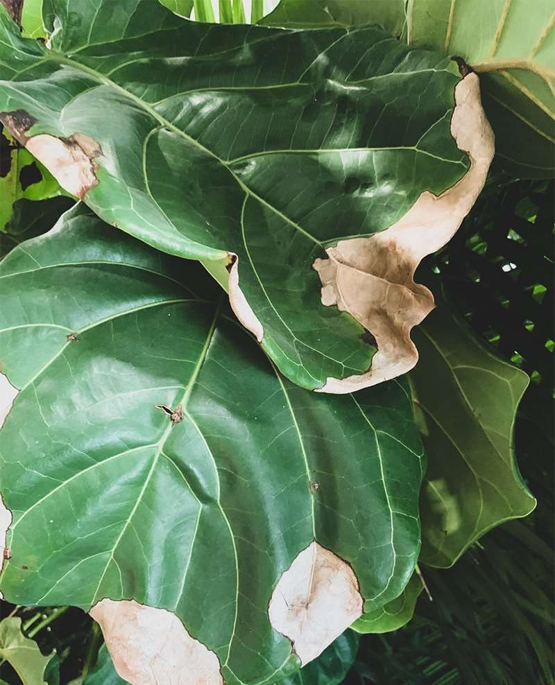 Fiddle Leaf Fig Brown