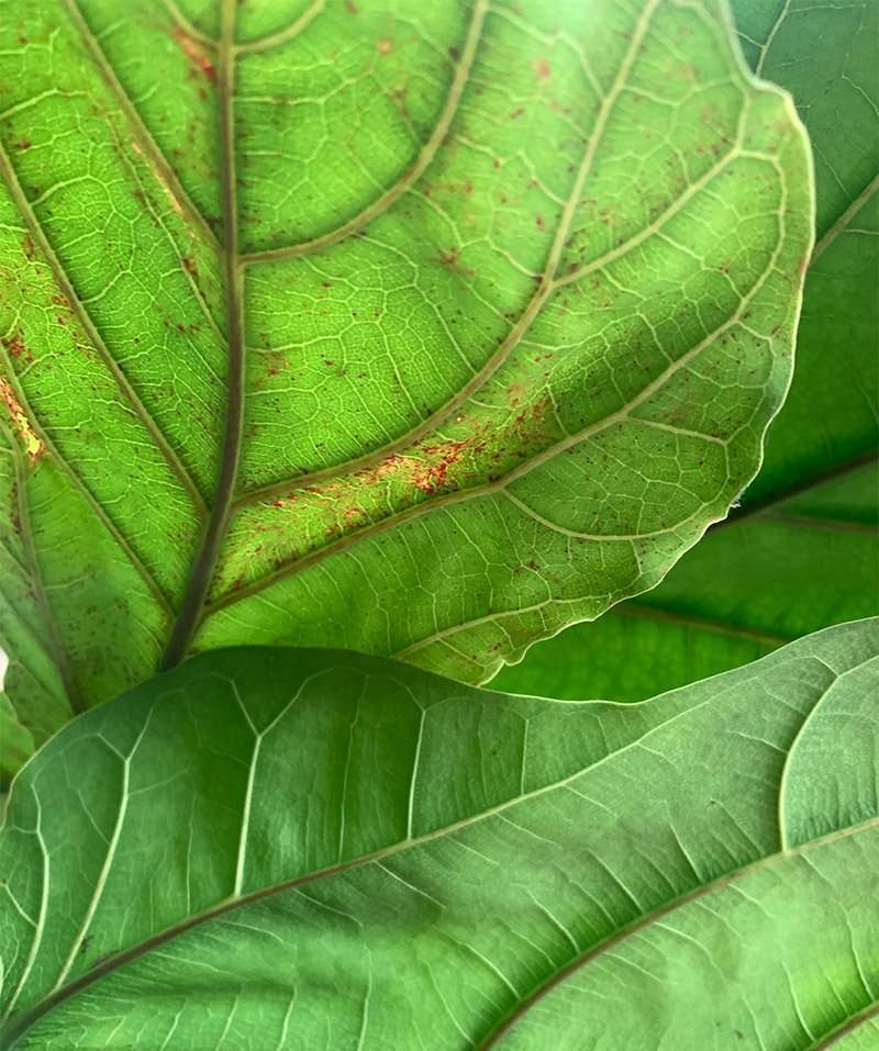 Fiddle Leaf Fig with Red Spots