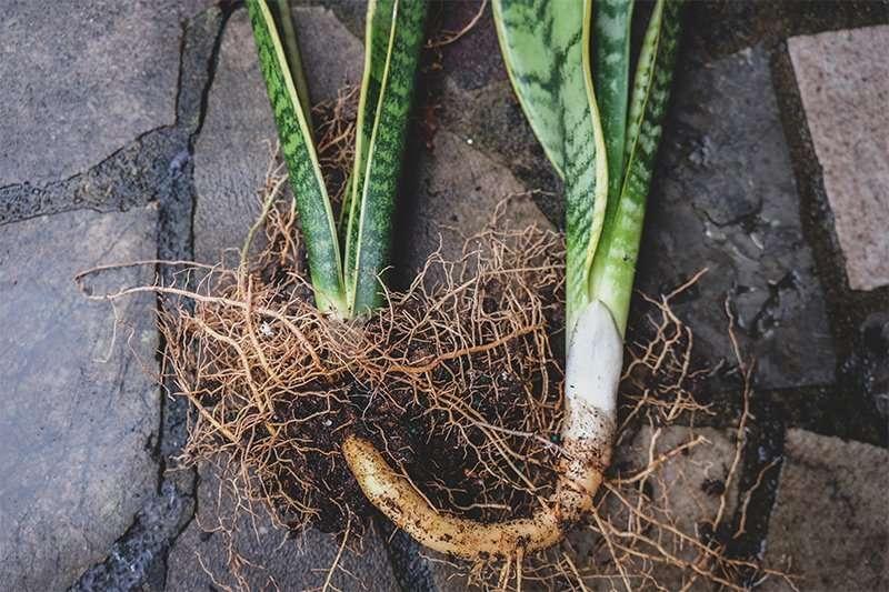 Snake Plant Rhizome