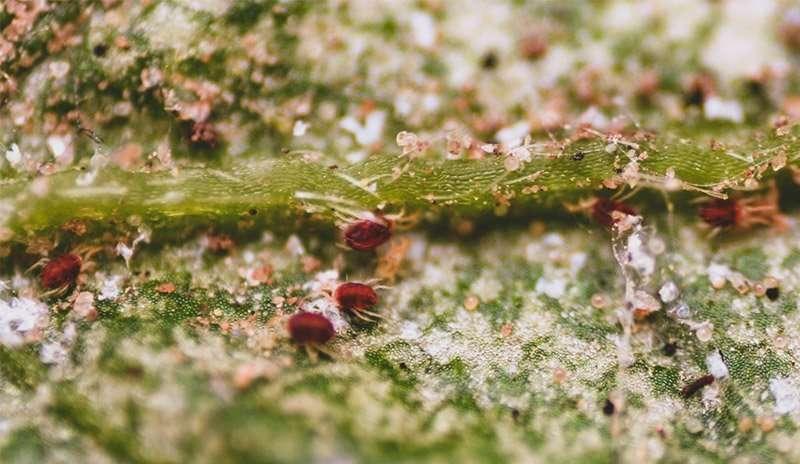 Spidermites1