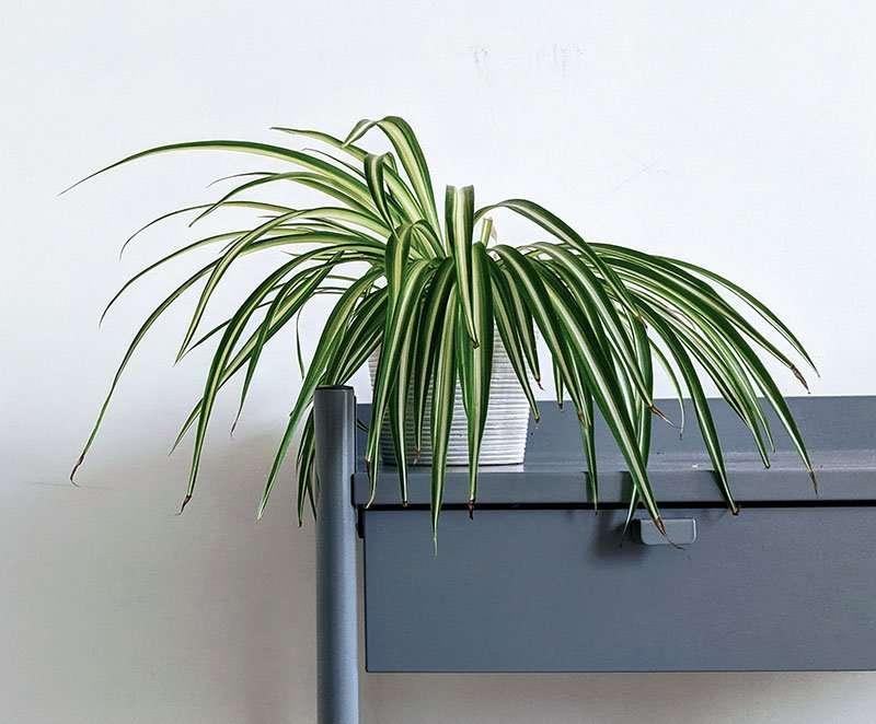 spider plant2