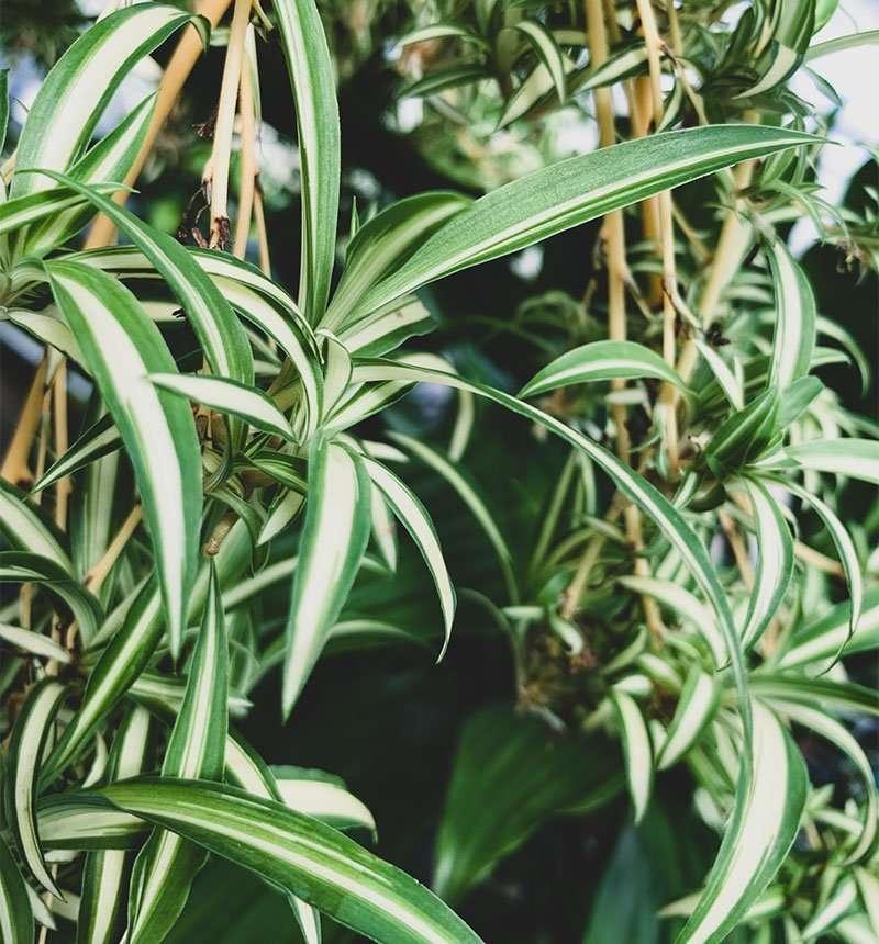 spider plant 6