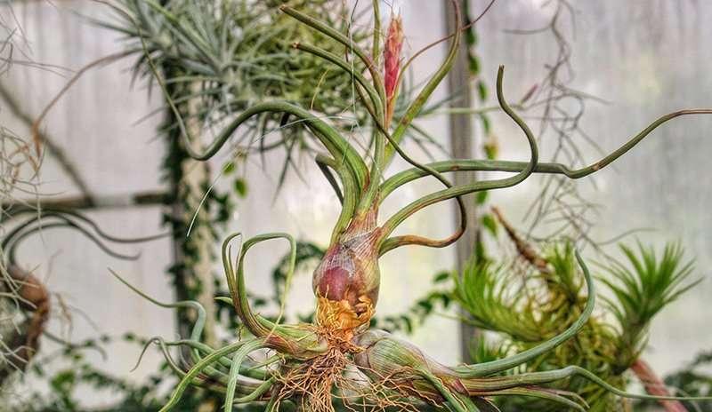 Flowering_Air_Plant