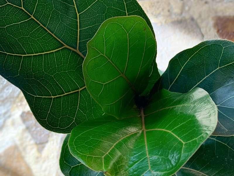 Fiddle Leaf Fig Bambino