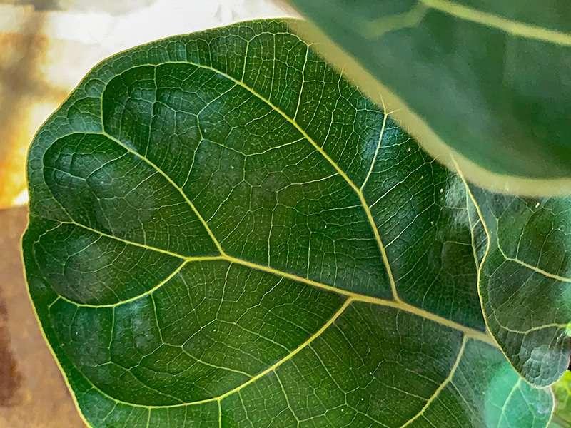 Fiddle Leaf Fig Leaf
