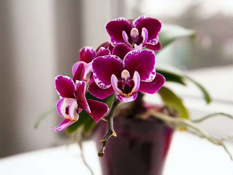 Orchid in Pot