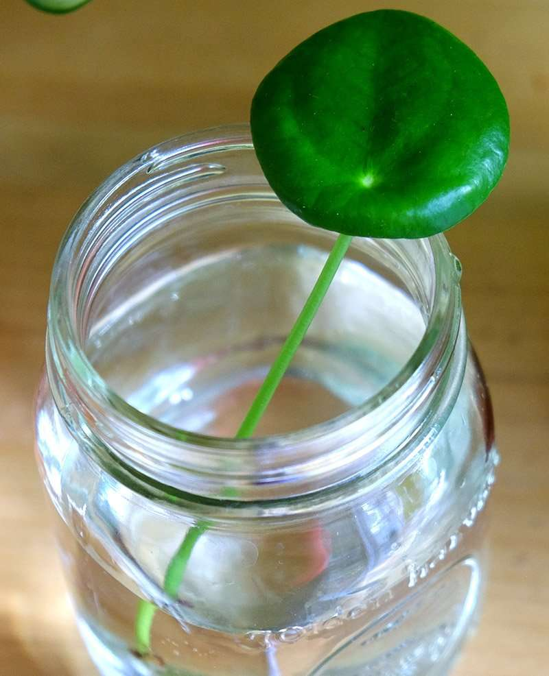 Pilea Peperomioides Leaf in Jar